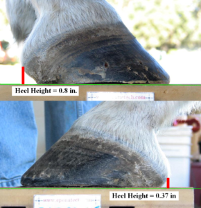 Measurement of Horse Heel Height - High/Low Issue Example