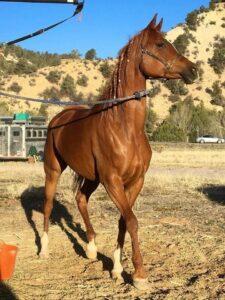 Gloriana is the name of horse wearing EponaShoe horseshoes